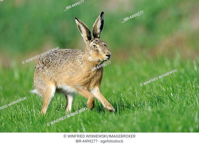 Scampering european hare (Lepus europaeus), Texel Island, The Netherlands