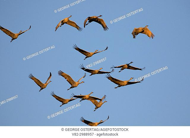 Sandhill cranes in flight, Bernardo Wildlife Management Area, New Mexico