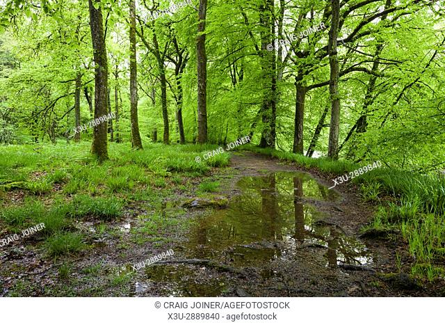 A pathway though a broadleaf woodland on the bank of the River Barle in spring in Exmoor National Park near Dulverton, Somerset