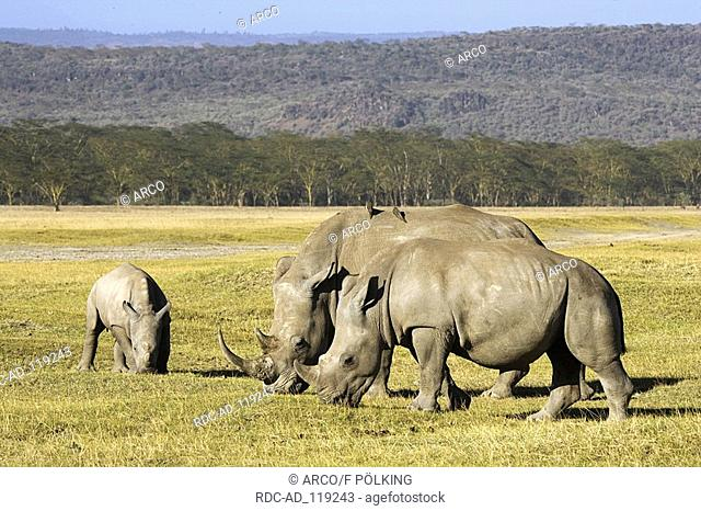 Wide-mouthed Rhinoceros pair with young Lake Nakuru nationalpark Kenya Ceratotherium simum