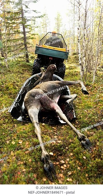 Dead elk transported after hunting
