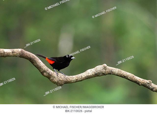Passerini's Tanager (Ramphocelus passerinii), Laguna del Lagarto Lodge, Alajuela, Costa Rica, Central America