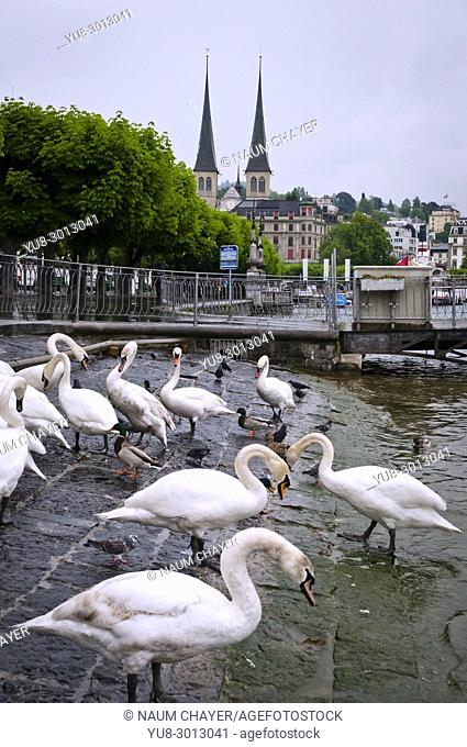 Geese and ducks are walking along the embankment of Lucerne, north-central Switzerland, Europe