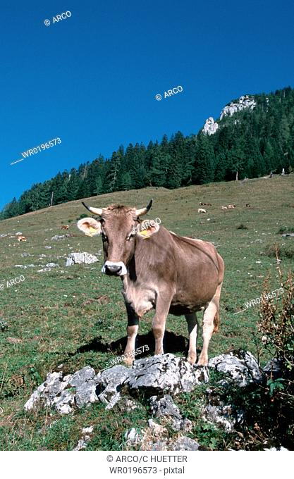 Cattle, cow, Alps, Bavaria, Germany
