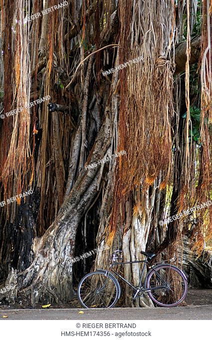 Mauritius island, West region, bayan tree at Grande Case Noyale