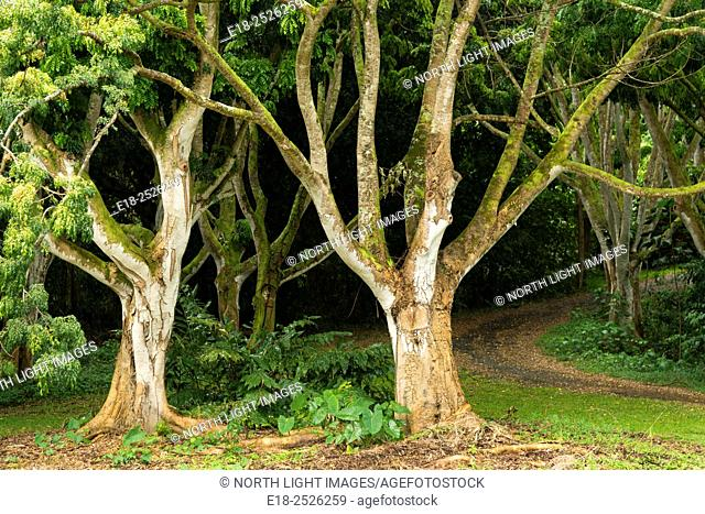 USA, Hawai, Oahu. Dirt road winds into the deep dark jungle behind sinuous trees in the Ho'omaluhia Botanical Garden