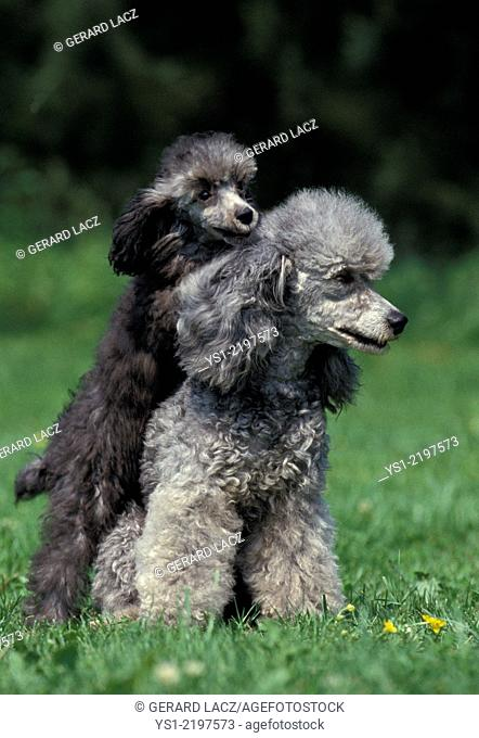 Grey Standard Poodle, Dog sitting on Grass, Mother and Pup