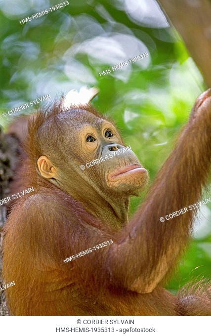 Malaysia, Sabah state, Sandakan, Sepilok Orang Utan Rehabilitation Center, Northeast Bornean orangutan (Pongo pygmaeus morio)