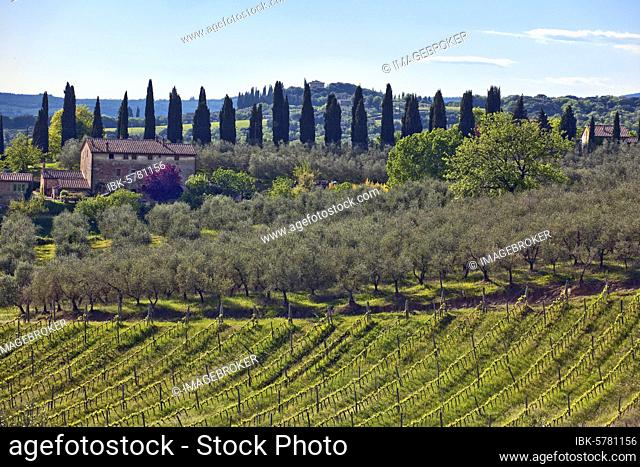 Landscape of Tuscany, wine (), olives (Olea europaea), cypresses (Cupressus sempervirens), vines, vineyard, Chianti, olive grove, Tuscany, Italy, Europe