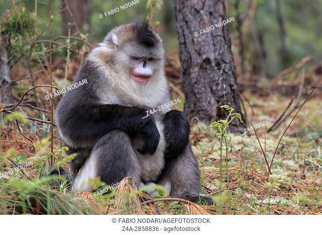 Yunnan Black Snub-Nosed Monkey (Rhinopithecus Bieti)