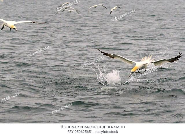 Gannets fighting for fish in the ocean