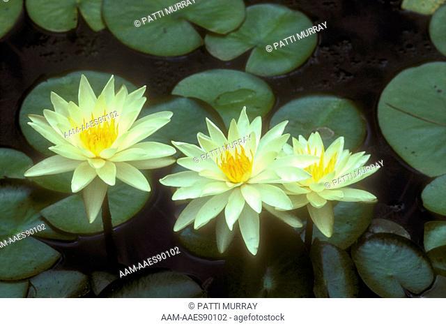 Water Lily, Charlene Strawn Hardy (Nymphaea 'Charlene Strawn') Somerset, NJ