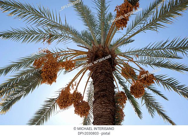 Low Angle Of A Date Tree With Sunlight And Blue Sky, Palm Springs California United States Of America