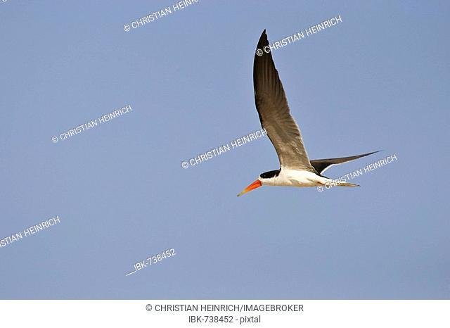 African Skimmer (Rynchops flavirostris) in flight, Caprivi Strip, Namibia, Africa