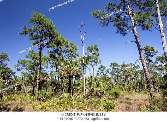 View of pine flatwoods habitat, with South Florida Slash Pine (Pinus elliottii var. densa) and Sabal Palm (Sabal palmetto)