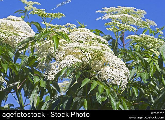 Common elderberry (Sambucus canadensis). Called American black elderberry and Canada elderberry also