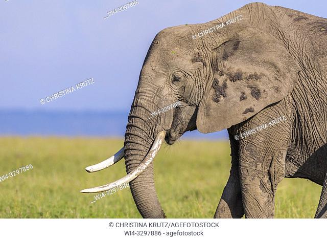 African elephant (Loxodonta africana) in savanna, Maasai Mara National Reserve, Kenya, Africa