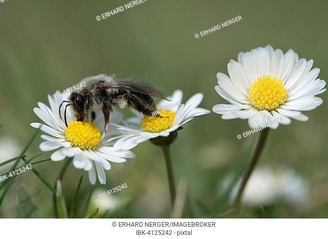 Ashy mining bee (Andrena cineraria), Emsland, Lower Saxony, Germany