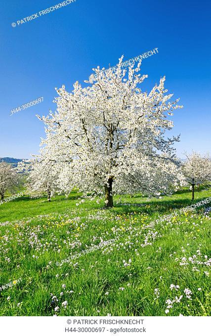 Kirschbäume im Frühling, Prunus avium, Schweiz