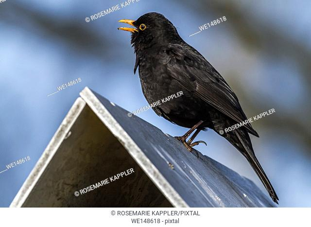 Germany, saarland, homburg - A blackbird is sitting on the top of a bird table