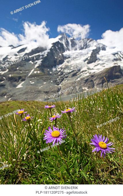 Alpine aster / blue Alpine daisy (Aster alpinus) in flower on mountain slope, Hohe Tauern National Park, Austrian Alps, Carinthia, Austria
