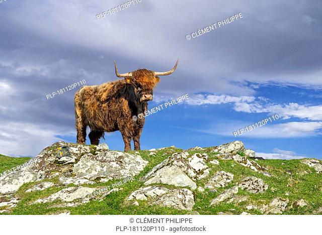 Highland cow (Bos taurus) portrait in the Scottish Highlands, Scotland, UK