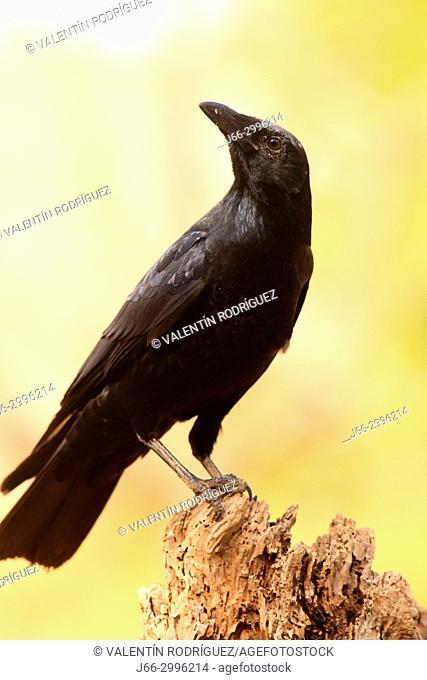 Carrion crow (Corvus corone) in the Los Serranos region. Valencia