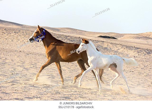Arabian Horse. Chestnut mare with foal trotting in the desert. Egypt