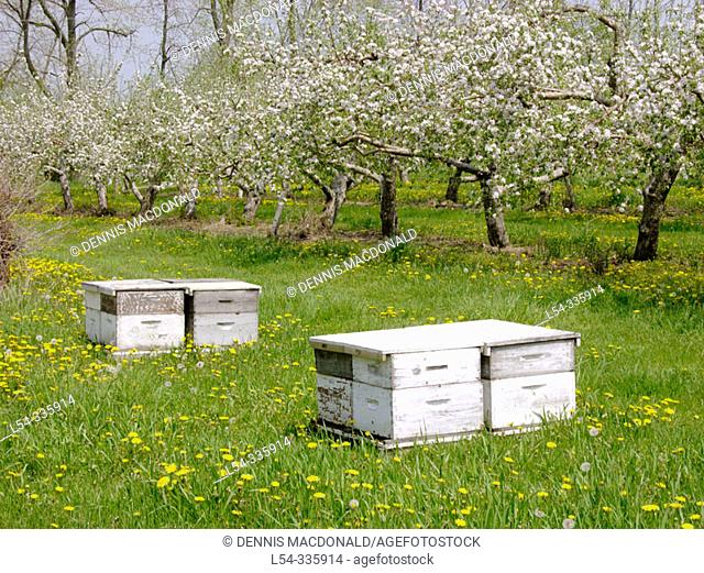 Bee hives for pollination are located in Michigan apple orchard with flower blosoms in full bloom