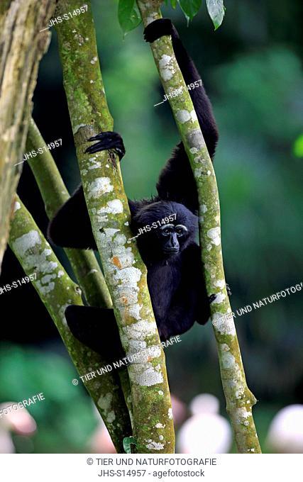Agile Gibbon, Dark-handed Gibbon, (Hylobates agilis), Asia, adult on tree