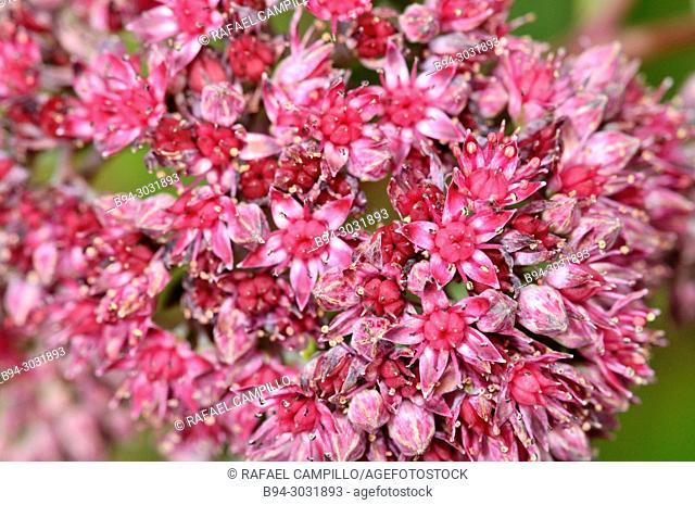 Sedum brevifolium is a slowly spreading succulent plant in the Sedum genus. Fam. crassulaceae. Sorteny valley Natural Park. Andorra. Europe