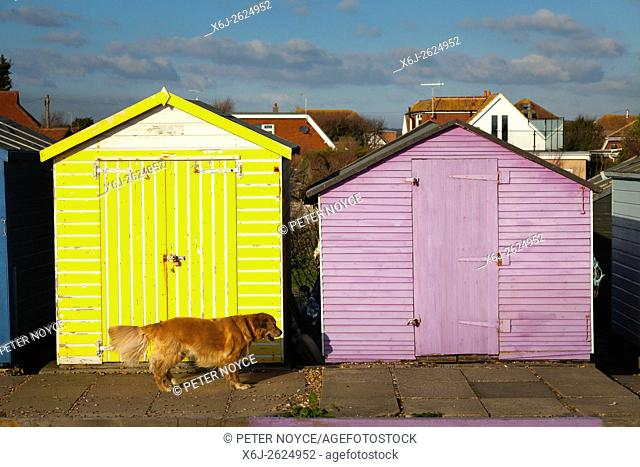 Golden retriever dog walking past colourful old beach huts