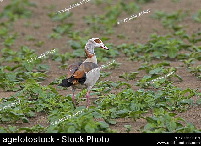 Egyptian goose (Alopochen aegyptiaca / Anas aegyptiaca) foraging in field, native to Africa south of the Sahara and the Nile Valley