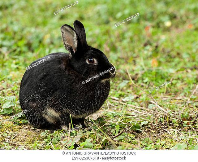 Nice black rabbit photographed in the forest