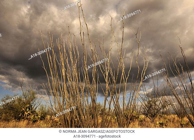 Ocotillo grow in the grasslands in the foothills of the Santa Rita Mountains in the Sonoran Desert, Green Valley, Arizona, USA