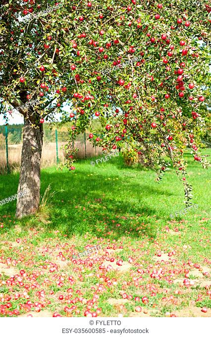Branches of an apple tree are full of red ripe apples. Many of the fruits are lying under the tree already