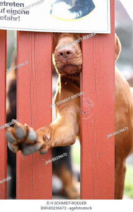 Hungarian Short-haired Pointing Dog Canis lupus f. familiaris, reaching through garden fence with a paw under a sign warning about the dog