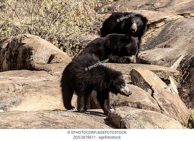Sloth Bear, Melursus Ursinus. Daroji Bear Sanctuary, Ballari district, Karnataka, India