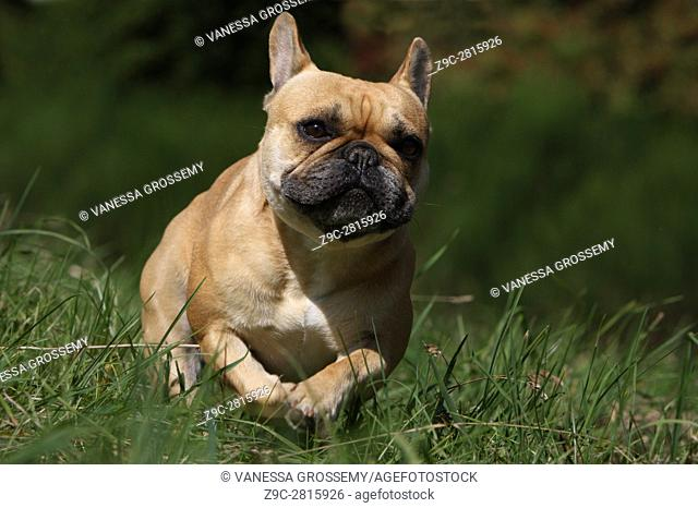 Dog French Bulldog adult running in a meadow