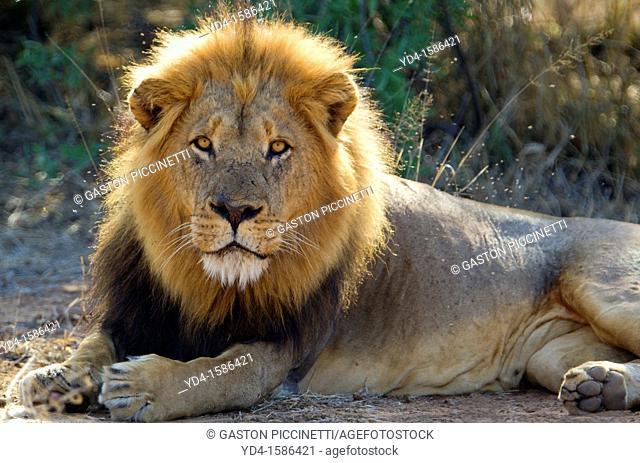 African Lion Panthera leo - Male, Kruger National Park, South Africa