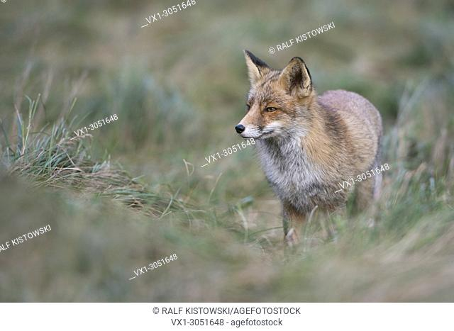 Red Fox (Vulpes vulpes ) adult, stands in a meadow, watching, waiting carefully, in typical pose, nice surrounding and colours, wildlife, Europe