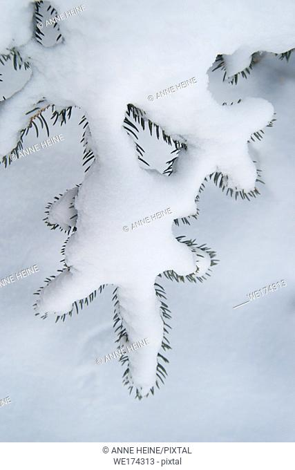 Twigs of fir covered by snow, end of needles peeking through