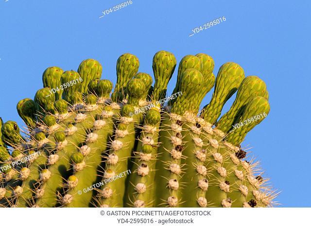 Detail of Giant Saguaro (Carnegiea gigantea), Saguaro National Park, Sonora Desert, Arizona, Tucson, USA