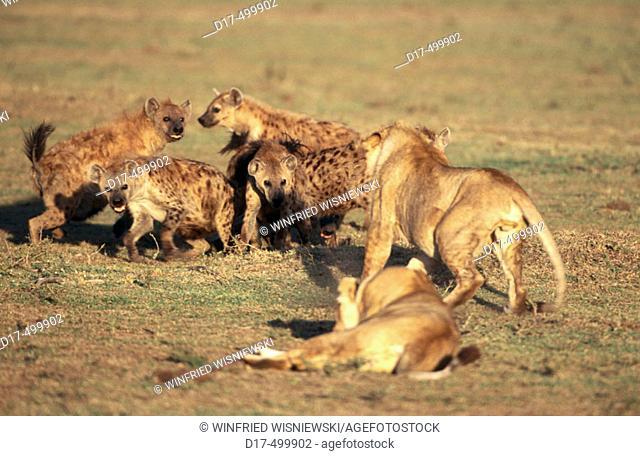 Spotted Hyenas (Crocuta crocuta) and Lion (Panthera leo). Masai Mara Game reserve. Kenya