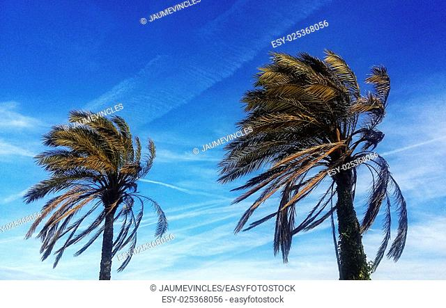 Palm trees, Caldes d'Estrac, Maresme, Barcelona province, Catalonia, Spain