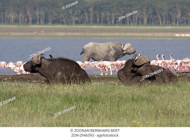 Cape Buffalos and Lesser Flamingos,Lake Nakuru