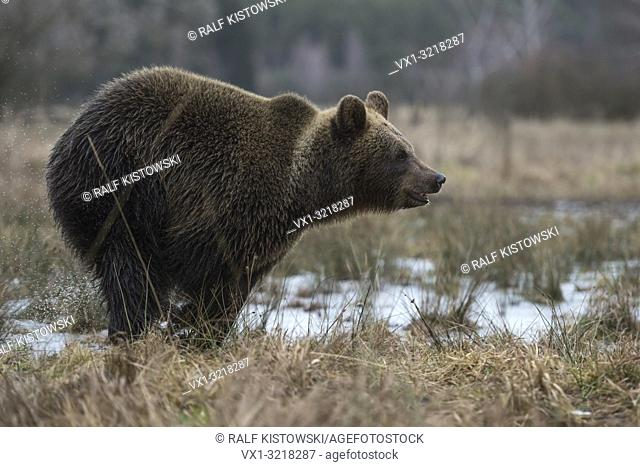 European Brown Bear / Braunbaer ( Ursus arctos ), playful adolescent, running fast through a wet meadow, a swamp, bog, marshland, wetland, Europe