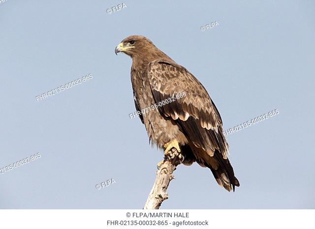 Greater Spotted Eagle (Clanga clanga) immature, perched on branch, Bikaner, Thar Desert, Rajasthan, India, February