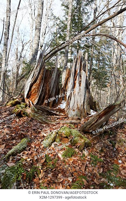 Decaying tree stump in Waterville Valley, New Hampshire USA