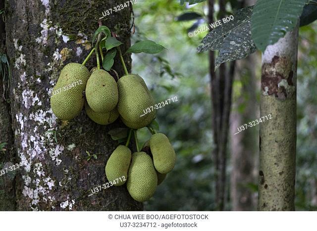 Chempedak tree with fruits at Kampung Satow, Sarawak, Malaysia